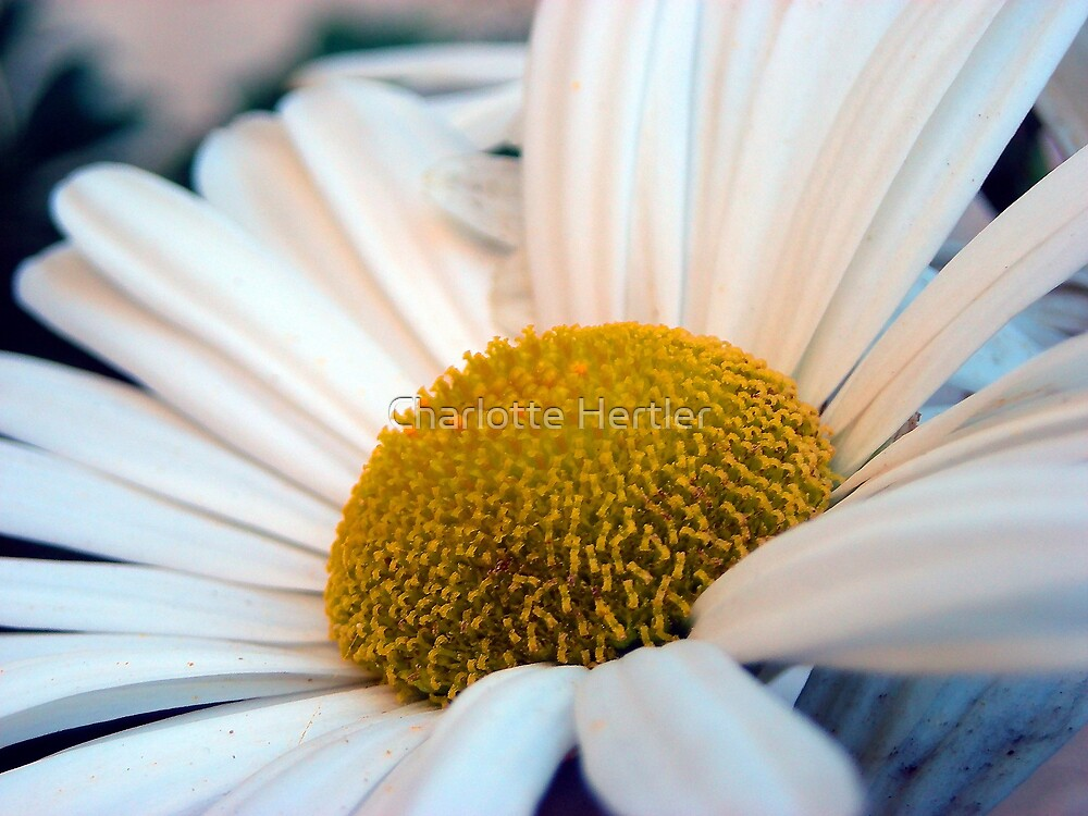 Dramatic Daisy by Charlotte Hertler