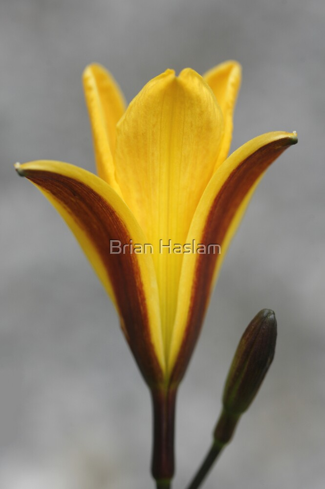 Lily 1 by Brian Haslam