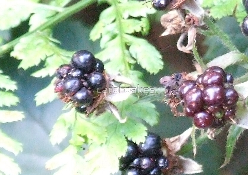 last chance of blackberry by carol oakes