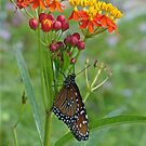 Monarch Migration by Cathy Jones