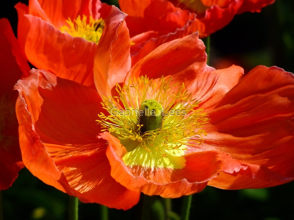 Poppy Fusion by Gabrielle  Lees