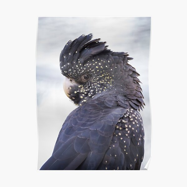 Female Red Tailed Black Cockatoo  Poster