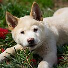 Bogong Dingo Pup by Celine Dubois