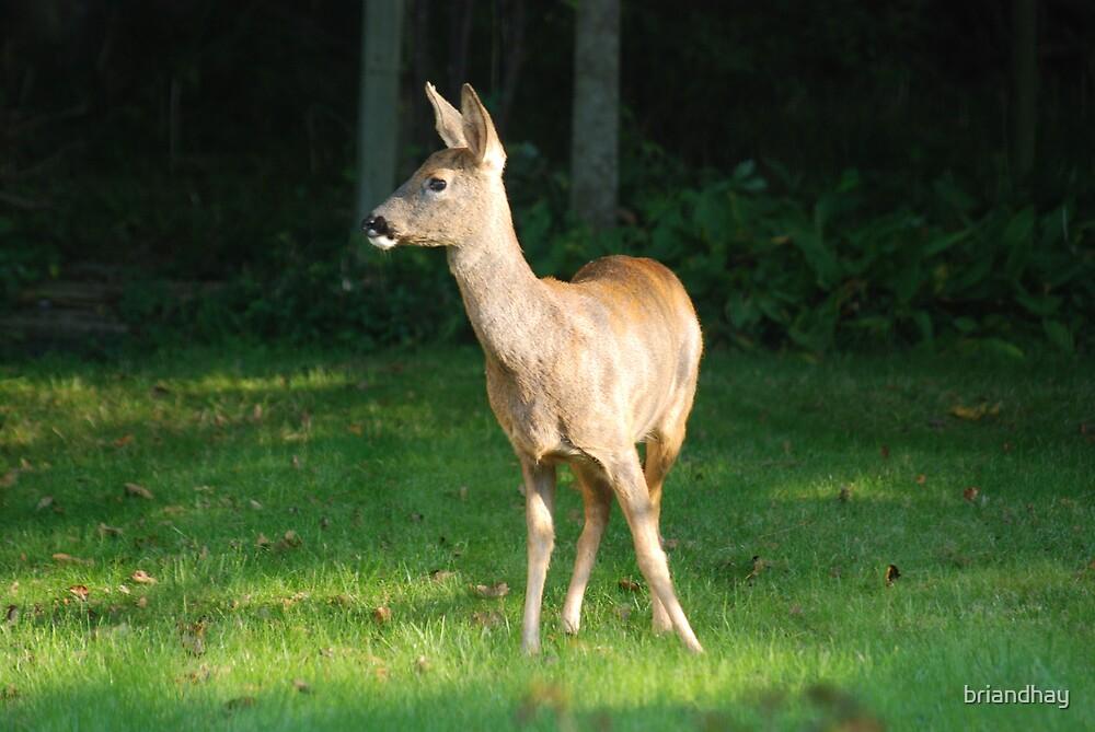 Deer in my garden by briandhay