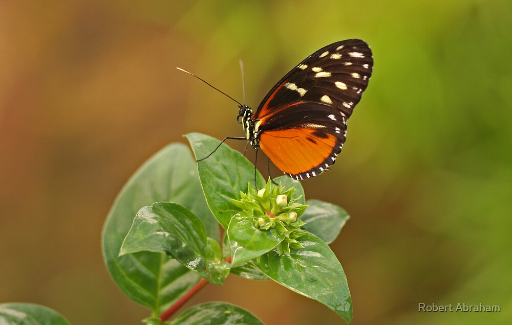 Hecales Longwing Butterfly by Robert Abraham