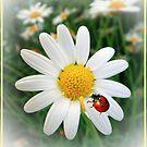Ladybird on Daisy by Eugenio