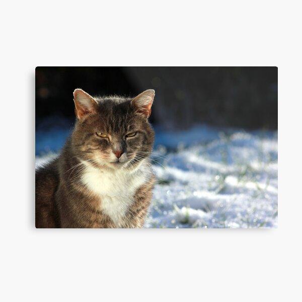 Tabby cat in garden in winter Metal Print
