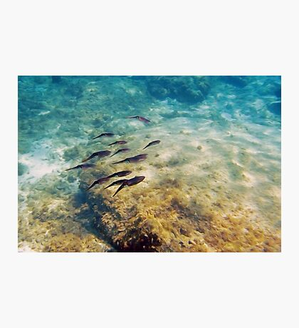 Caribbean Reef Squid in Oils Photographic Print