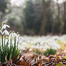 Snowdrops by Christopher Wardle-Cousins
