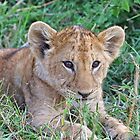 Lion Cub by Anthony Goldman
