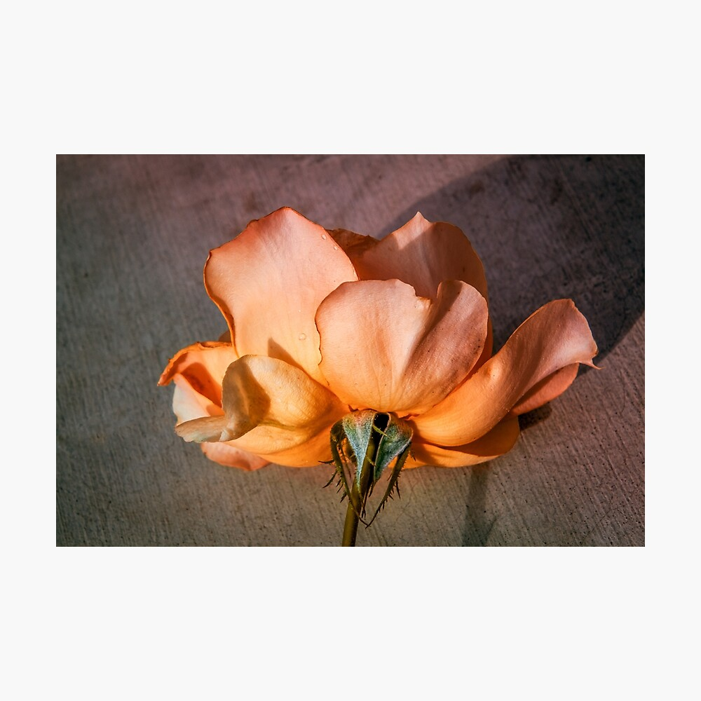 Peach Rose On Texture Poster By Terryikon Redbubble