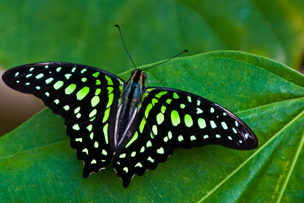 butterfly 5 by magdesign