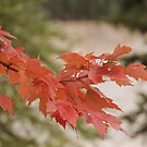 Maple Branch by Kathi Huff