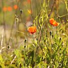Poppies by Kathi Huff