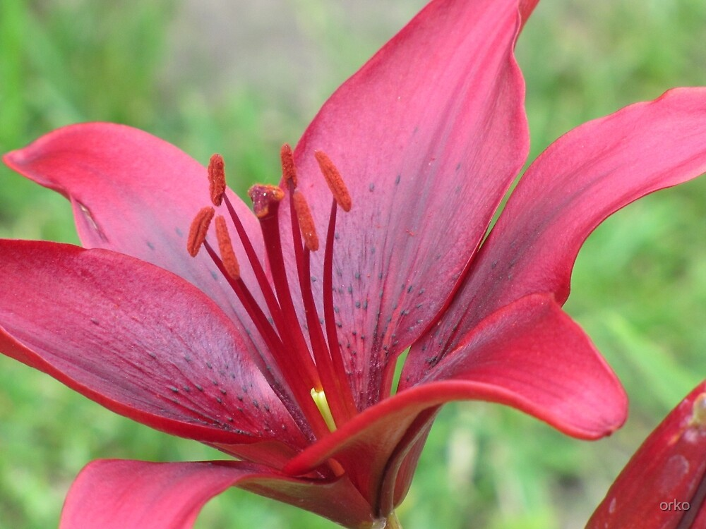 Red Lily by orko
