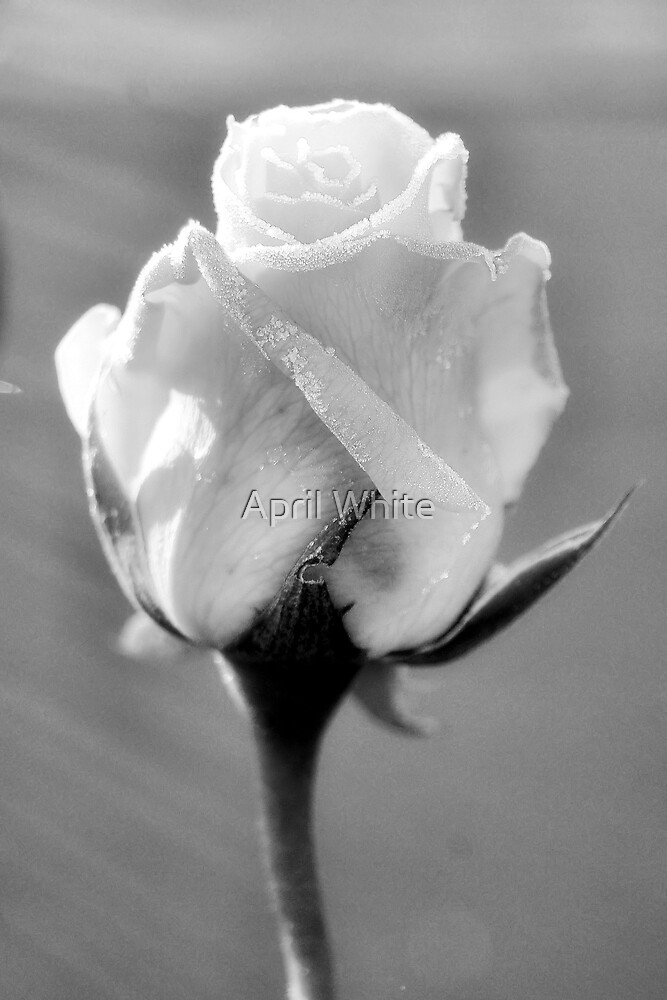 Soft Frosted Rose by April White