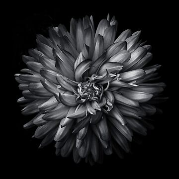 Backyard Flowers In Black And White 20 by learningcurveca
