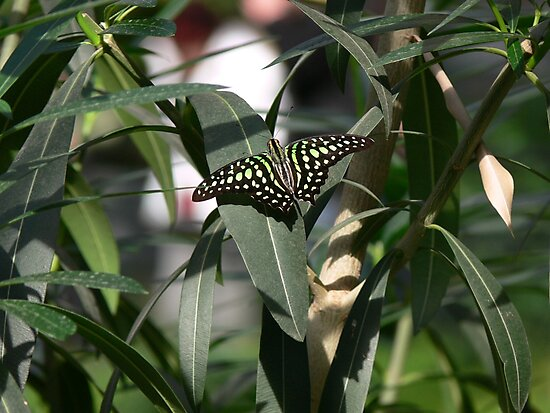 Tailed jay butterfly by PhotosByHealy