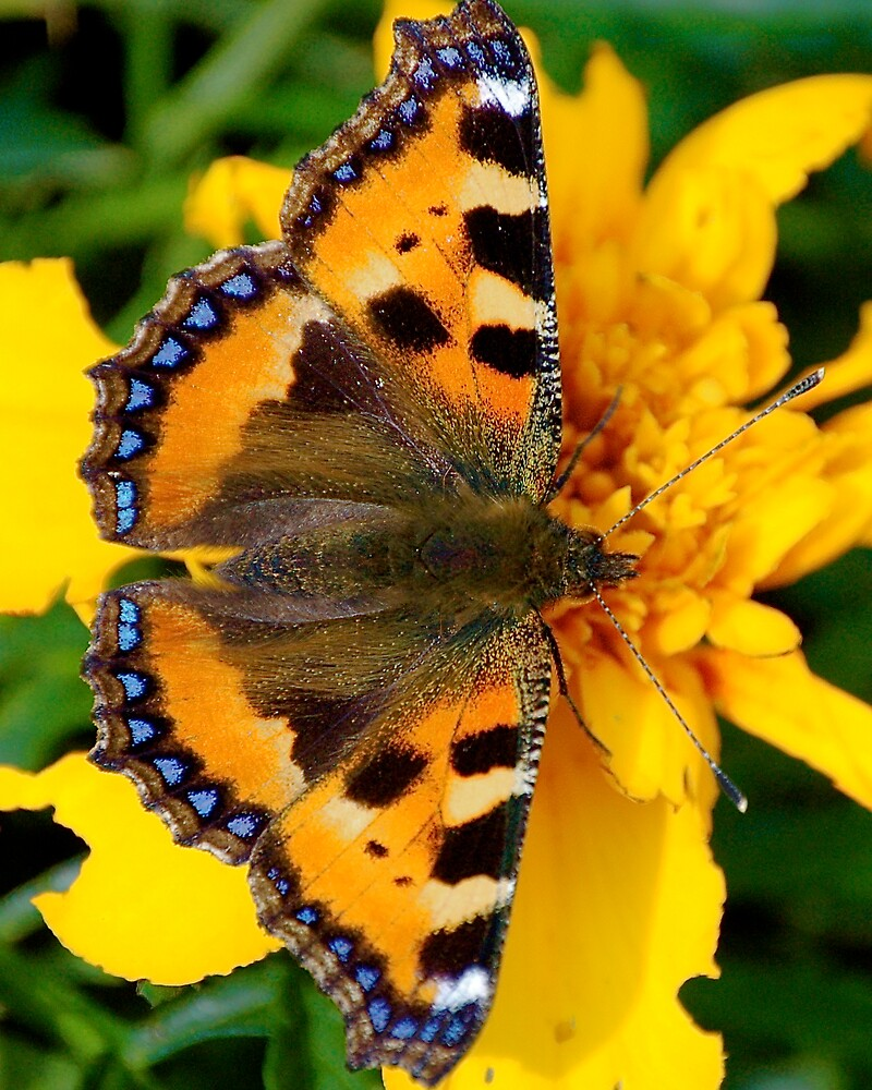 Tortoiseshell Butterfly by pulsdesign
