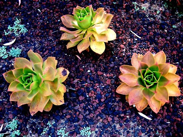 Succulent 2 by SamanthaJune