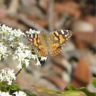 Australian Painted Lady Butterfly, Vanessa kershawi by peterstreet