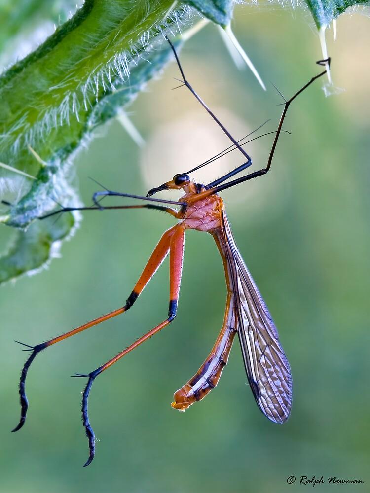 Macro of Scorpion fly by Aussieroo57