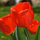 Red Tulips by BigD