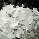 Through the Magnolia by whatseesme