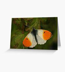 Orangetip Butterfly Greeting Card