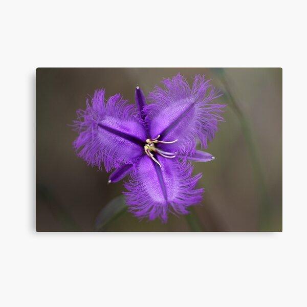 """Common Fringe Lily """"Thysanotus tuberosus""""  Metal Print"""