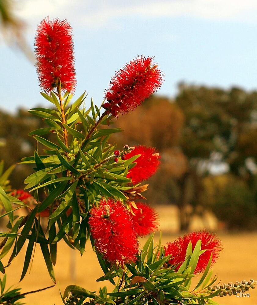 Australian Bottle Brush by Clive