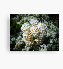 White Flowers in Bloom Canvas Print
