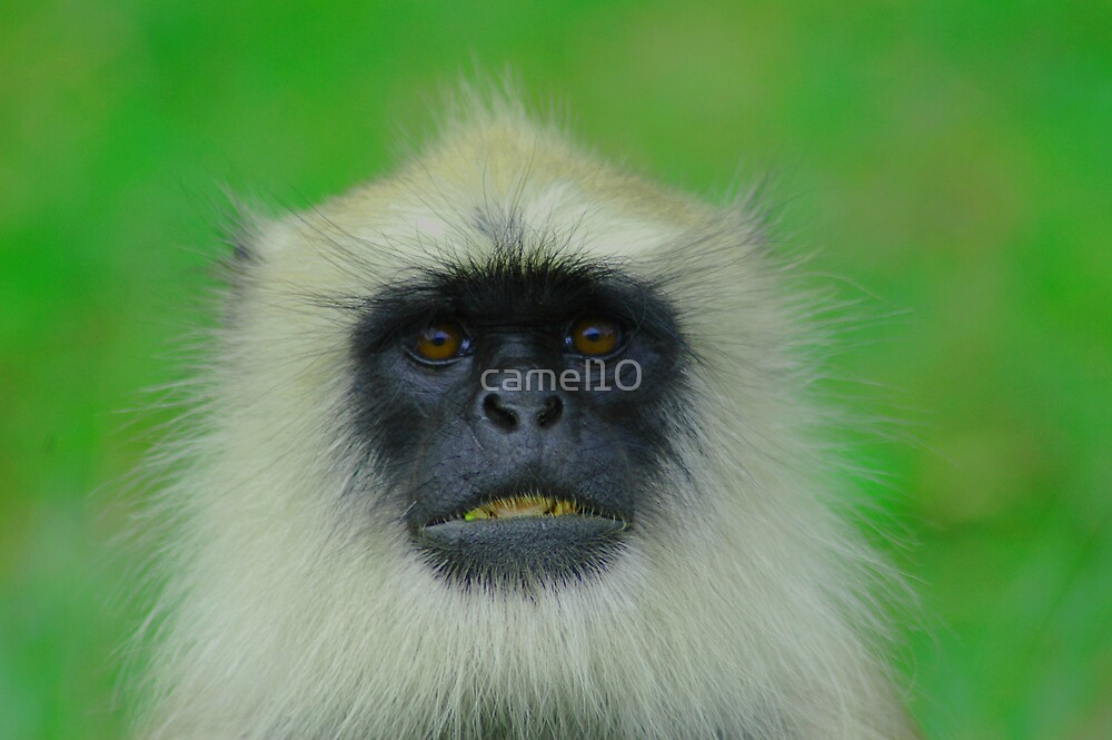 Langur Monkey by camel10