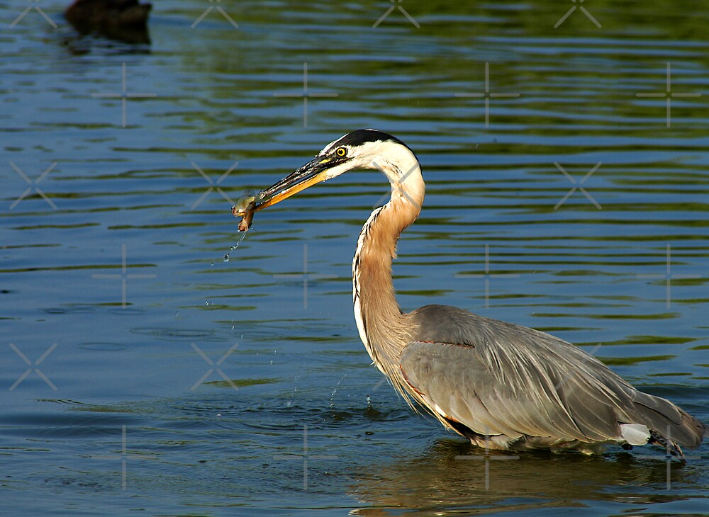Heron with Dinner by Clayton Bruster