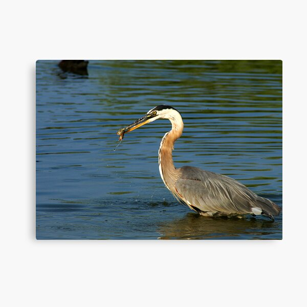 Heron with Dinner Canvas Print