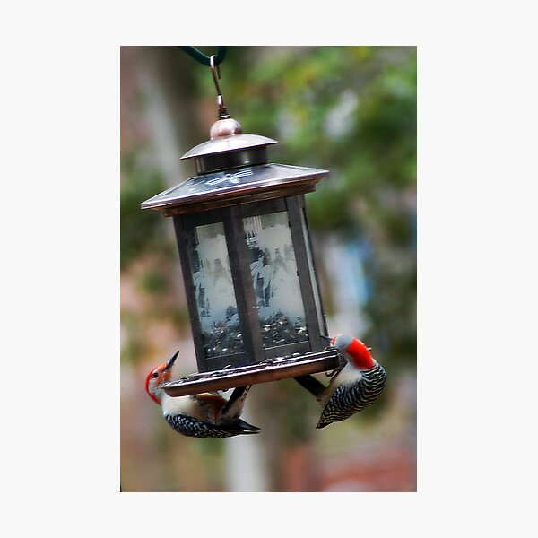 A Paire of Woodpeckers Photographic Print