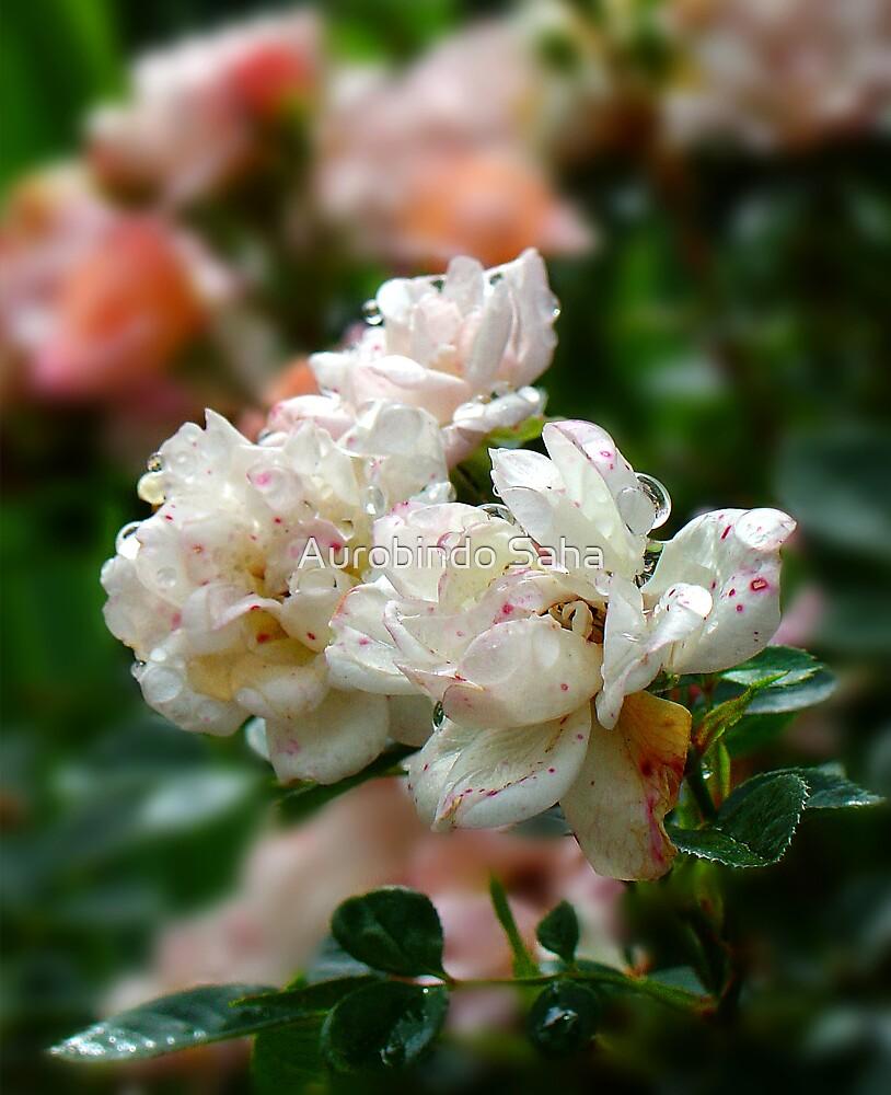 Fresh Rose by Aurobindo Saha