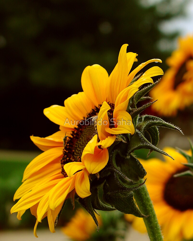Sunflower by Aurobindo Saha