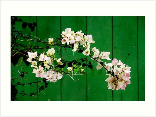 Azalea by Steven  Siow