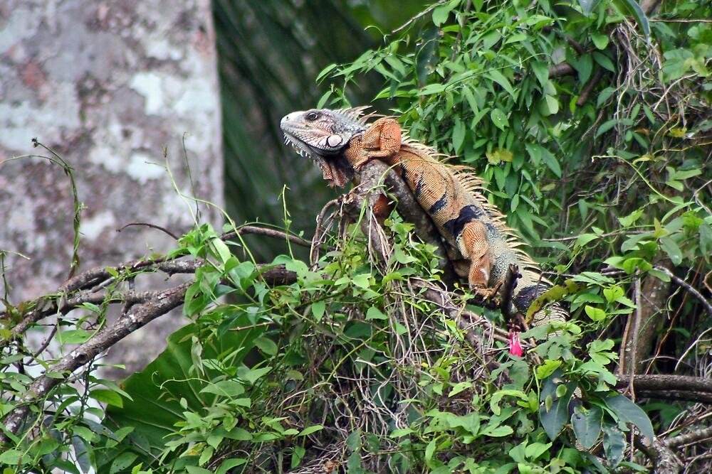 Iguana by Karen Millard