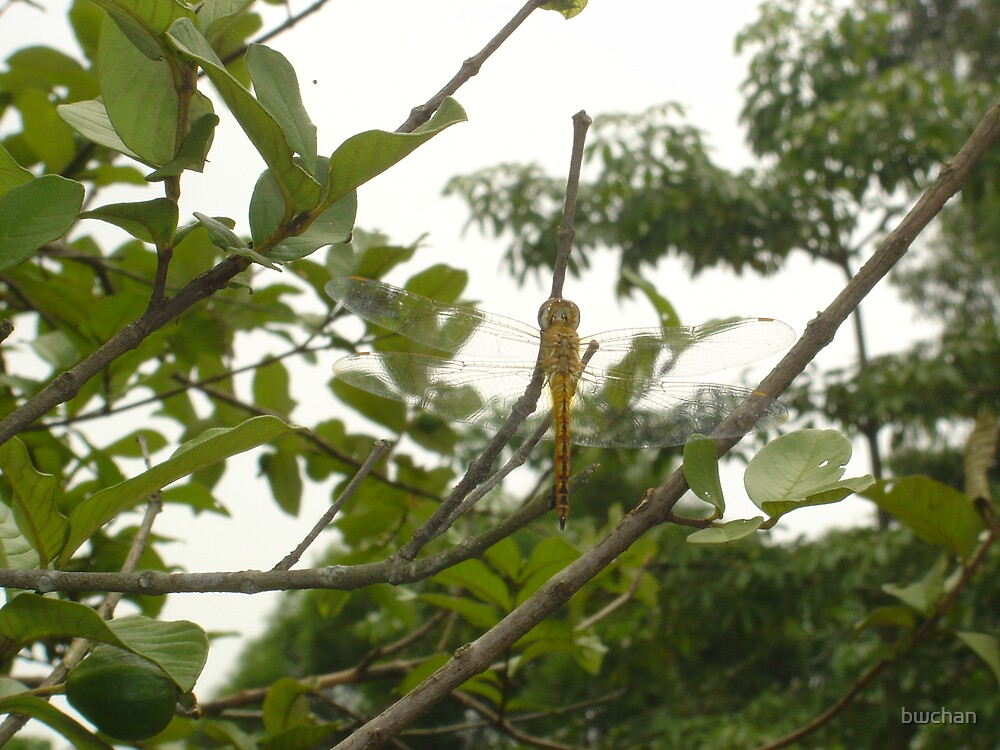 Dragonfly soon after monsoon shower in hong kong by bwchan