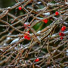 Frosty berries by debfaraday
