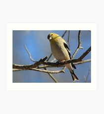 Gold Finch. by NatureGreeting Cards ©ccwri Art Print