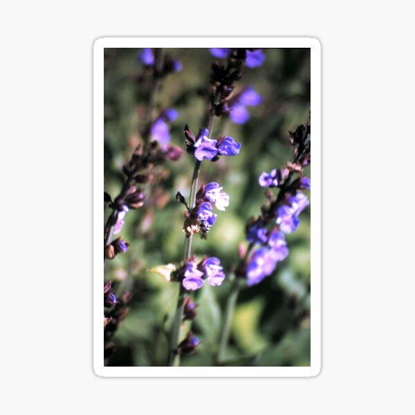 Blüte des Salbei Sticker