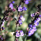Blüte des Salbei von Gourmetkater