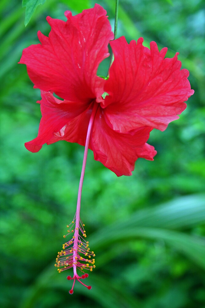 Hibiscus by Karen Millard