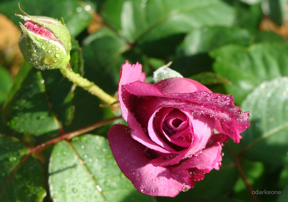 A Rose in my Garden 1 by odarkeone