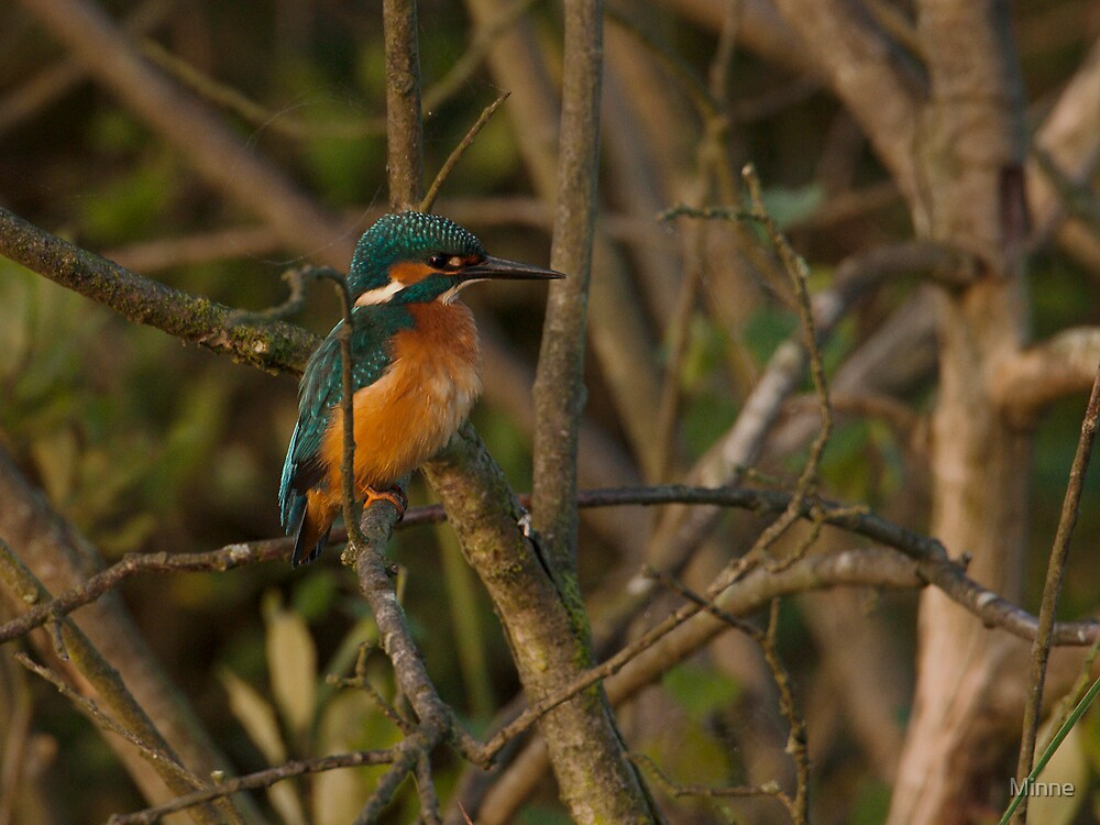 King Fisher by Minne