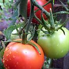 Leckere Tomaten von Gourmetkater