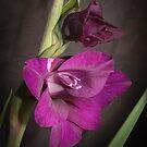 Gladiolus by Anatoliy
